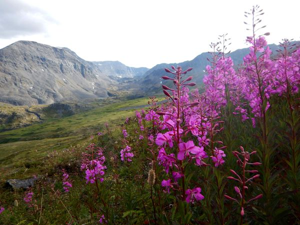 Wildflowers in a lush green valley in Alaska's Chugach Mountains with peaks rising in the distance.