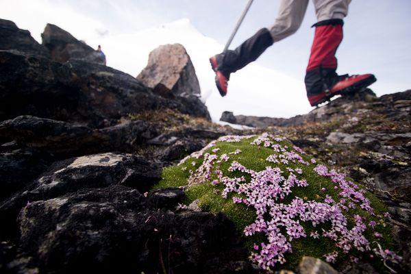 A close up of delicate alpine flowers with a hiker's feet and snowy mountain in the background.